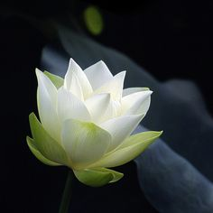 White Lotus...in early stage of blossom | Flickr - Photo Sharing!