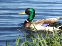 Steven Helmer Publications: Mallard Duck