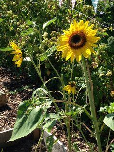 My lovely sunflowers ...!