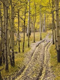 inch Photo Puzzle with 252 pieces. (other products available) - Two-track lane through fall aspens, near Telluride, Colorado, United States of America, North America - Image supplied by WorldInPrint - Jigsaw Puzzle made in the USA Poster Prints, Framed Prints, Canvas Prints, America Images, Aspen Trees, Telluride Colorado, That Way, Photo Mugs, North America