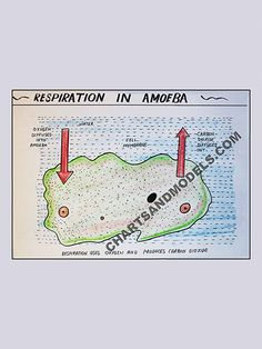Buy Respiration in Amoeba Charts Online Buy Respiration in Amoeba Charts Online for schools as well as students regarding their project.