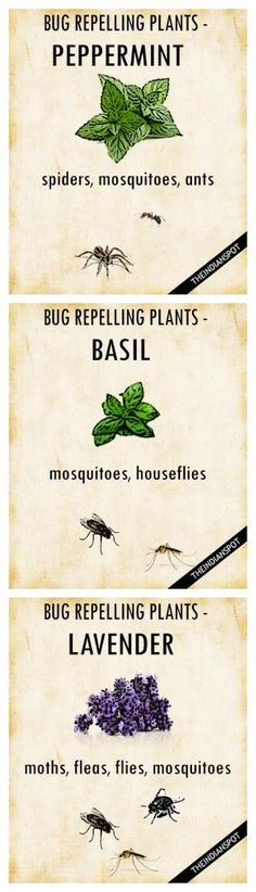 PLANTS THAT KEEP BUGS AWAY Worried how to repel mosquitoes and houseflies naturally? Simply get your garden area some pots of basil, and you are done. It belongs to the family of powerful, pungent herbs that can perfect companions to keep the bugs away. Organic Gardening, Gardening Tips, Gardening Shoes, Organic Horticulture, Organic Plants, Gardening Supplies, Vegetable Gardening, Plants That Repel Bugs, Keep Bugs Away