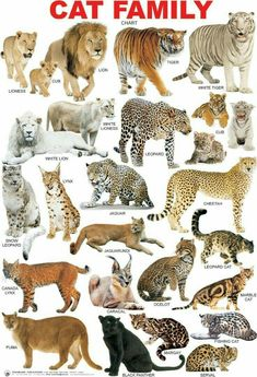 The Cat Family (Feline), La Famillia de Gatos. Big Cats, Crazy Cats, Cats And Kittens, Cute Cats, Siamese Cats, Small Wild Cats, Animals And Pets, Baby Animals, Funny Animals