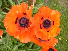 A pair of mind-boggling neon orange ornamental poppy blossoms. #gardening #poppies