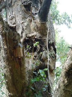 Can you see a man's face in this tree?