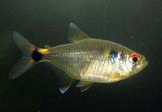 ... ocellifer. Steindachner, 1882. Common Name: Head-and-Tail-Light Tetra