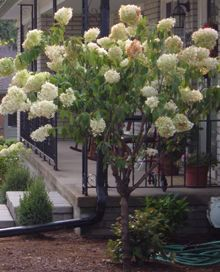 limelight hydrangea tree - my fav thing in my landscaping!!!