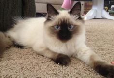 Toffee – Ragdoll Kitten of the Month