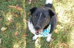 Meet Jagger a Petfinder adoptable Border Collie Dog | Greenwood, IN | Jagger is a 7 year old border collie mix looking for his forever home. Jagger has little quirks to...