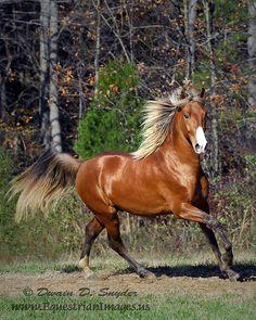 Kentucky Mountain Horse Red Cloud. A nice example of silver bay.