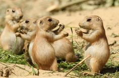 Two baby prairie dogs sharing their food.
