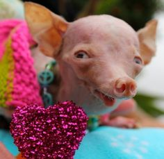 Inbred dog taken from backyard breeder adopted by woman who rescued her » DogHeirs | Where Dogs Are Family « Keywords: Chihuahua, backyard breeding, rescue, adoption