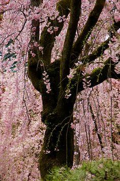 Sakura cherry blossom japan kyoto