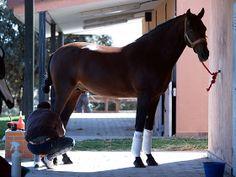 Horsespre | PRE Andalusian dressage stallion Nr 387