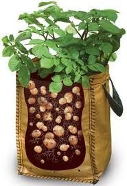 This is one way to keep your supply of fresh potatoes all year. Also keeps out the pests :) Growing Potatoes In Bags.how to do it Growing Potatoes In Bags, Grow Potatoes In Container, Growing Veggies, Growing Plants, Edible Garden, Lawn And Garden, Vegetable Garden, Terrace Garden, Organic Gardening