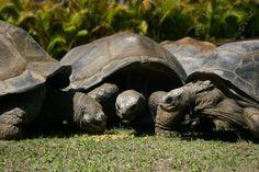 Tortoise ' s enjoying a snack.