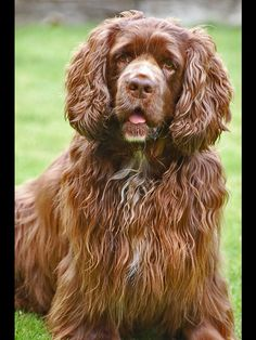 Sussex spaniel - my new obsession