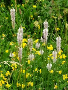 Hoary Plantain - edible plants for Leopard Tortoise (all)