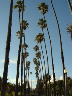 File Santa Monica Palm Treesjpg