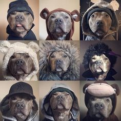 """2,340 Likes, 86 Comments - ProfPic- @Blue.Ziggy (@bullbreedsofinsta) on Instagram: """"The many faces of @bluey_the_blue_brindle  follow @nila_blue_staffy & @mollyandtillystaffies"""""""