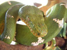 Emerald Tree Boa #snakes #reptiles #topanimals
