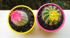 cacti at my first apartment :) they were soo cute.
