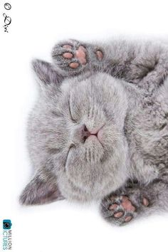 Cute Pictures Of Animals To Draw Step By Step half Draw So Cute Animals Coloring Pages those Free Cute Animals Wallpaper Images considering Cats And Kittens Gif. Cats And Kittens For Sale Swansea Kittens And Puppies, Cute Cats And Kittens, I Love Cats, Kittens Cutest, Grey Kitten, Grey Cats, Beautiful Cats, Animals Beautiful, Cute Baby Animals