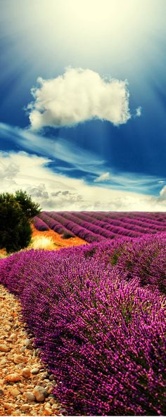 Beautiful Lavender Field in Provence, France. http://www.mediteranique.com/hotels-france/provence/
