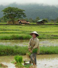 Rice farming woman in Laos, via Flickr.