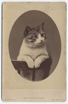 Cabinet Card of Cat