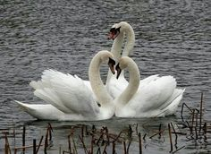 Swans in Love Source: Beautiful Pictures From Me To You Swan Love, Beautiful Swan, Beautiful Birds, Animals Beautiful, Swan Pictures, Animal Pictures, Beautiful Pictures, White Swan, Black Swan