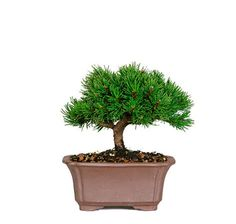 Want a bonsai that requires very little trimming and exhibits the beauty and characteristics of a classic bonsai? If so, then our slow growing, beautiful Dwarf Mugo Pine from Nursery Tree Wholesalers