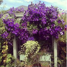 The Jackman clematis, beautifully captured here by florist Emily Louise Rimer on Instagram, is actually a hybrid, and one of the most common throughout North America. It's bold purple shade is beloved by gardeners, as it serves as an amazing pop of color against a uniform all-green landscape.