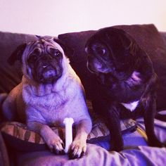 One of my favorite pic I have ever taken! London & JoJo #pugs #funny