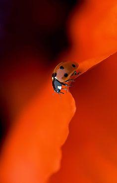 Joaninha laranja.