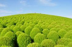 Kochia Hill - Hitachi Seaside Park, Hitachinaka, Ibaraki, Japan - コキア | 国営ひたち海浜公園 - http://hitachikaihin.go.jp/