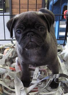 """Little Grey Pug Puppy"" -That's called a SILVER pug dumbass. Educate yourself! Anyhow it's so cute!! #pugpuppy"