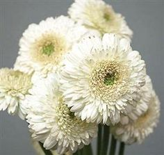 Gerbera Gerrondo White ~ Mayesh Wholesale Florists - Search our Flower Library