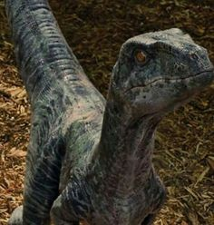 Echo raptor, Jurassic world. I get the feeling the raptors are young. And have not yet reached adult size or age.