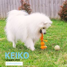 Life can be full of tough choices! Keiko, the Japanese Spitz of Japanese Spitz Puppy, Funny Puppy Pictures, Newborn Puppies, Spitz Dogs, American Eskimo Dog, Christmas Puppy, Samoyed, Funny Cute, Animals Beautiful