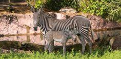 Filhote de zebra ameaçada de extinção nasce em parque da Flórida