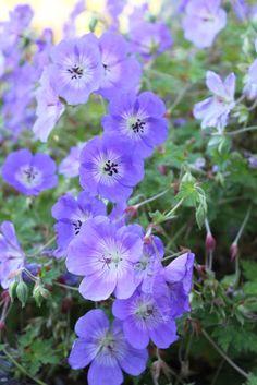 Geranium 'Rozanne' Geranium Rozanne, Geraniums, Garden, Plants, Pictures, Garten, Lawn And Garden, Gardens, Plant