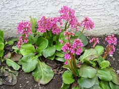 Heartleaf bergenia / elephant ears. Early spring flowering.