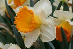 daffodil tropical sunset - Google Search