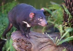 Le diable de Tasmanie au secours de la biodiversité australienne - Sciencesetavenir.fr