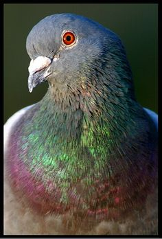 Rock Dove - had one on top of barn today 6/30/2013