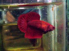 Drop-dead Gorgeous extended red HalfMoon Female Betta