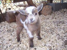 Baby Nigerian Dwarf goat