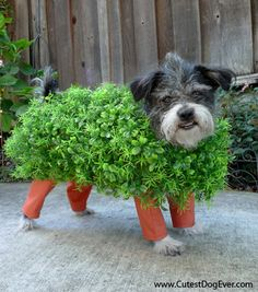"""Dressing your pet up as a """"chia pet"""" is a clever Halloween pun. If you've decided to make your own pet costumes this Halloween, this is one that should be at the top of your list. Chien Halloween, Fete Halloween, Homemade Halloween Costumes, Dog Halloween, Costume Halloween, Halloween Clothes, Halloween Series, Happy Halloween, Halloween 2014"""