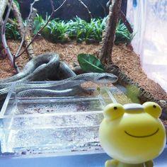 カエルくんと過ごす元旦その5です。  すみだ水族館で今年の干支のヘビに会えました。カエルくんはタジタジだったようです。  We met zodiac sign of this year ,Snake in Sumida aquarium .  Pukaka Frog was cringed by him .    今年もハシーのpinterestをよろしくお願い致します!  Thank you again this year with Hashy's Pinterest!